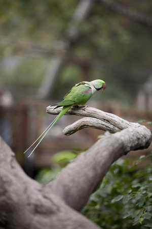 Alexandrine Parakeet (Psittacula eupatria) Perched on a tree branch in the Hong Kong Aviary  photo