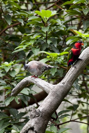 Alexandrine Parakeet (Psittacula eupatria) and Nicobar Pigeon (Caloenas nicobarica) Perched on a tree branch in the Hong Kong Aviary  photo