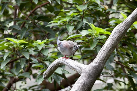Nicobar Pigeon (Caloenas nicobarica) Perched in a tree at the Hong Kong Aviary  photo