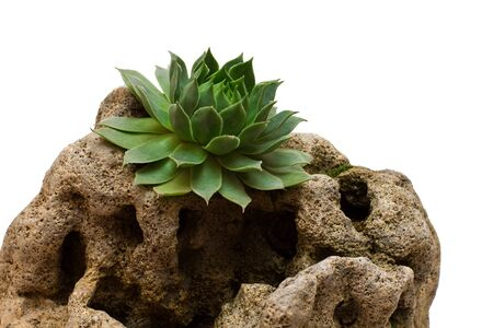 types of cactus: succulent on stone on a white background
