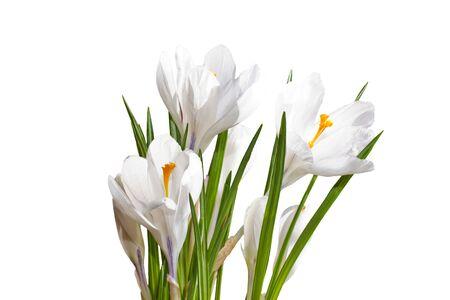 petites fleurs: crocus blancs close up isol� sur fond blanc