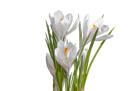white crocuses close up isolated on white background photo