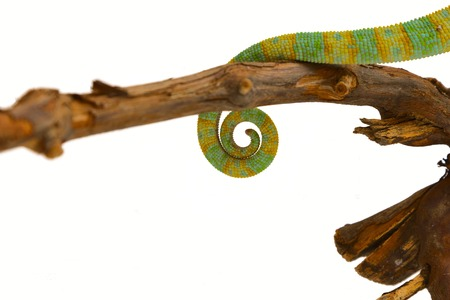 tail of a chameleon photo