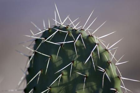 sabre's: Opuntia dillenii cactus, typical for Israel Stock Photo