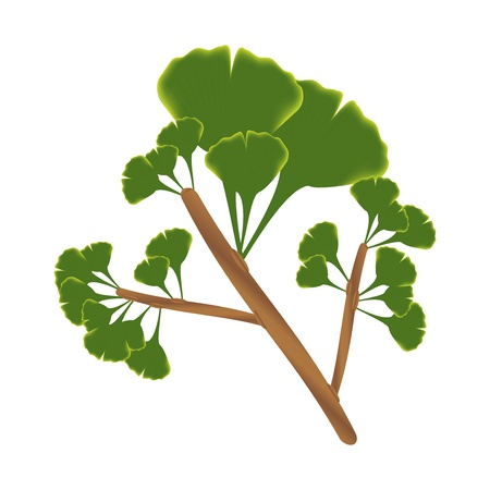 Twig with leaves of ginkgo biloba isolated illustration on white background   Illustration