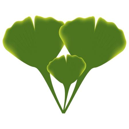 Leaves of ginkgo biloba  Ilustração