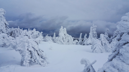 frozen trees: Frozen trees on mountain top.