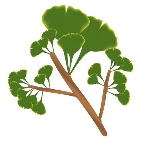 Leaves of ginkgo biloba. Vector