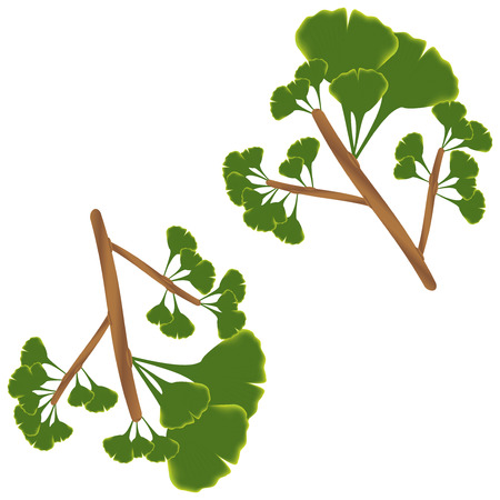 Leaves of ginkgo biloba. Vector