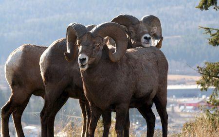 큰 경적 양, (램), 황금, BC, 캐나다의 록키 산맥) 스톡 콘텐츠