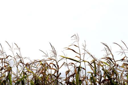 tassles: corn stalks