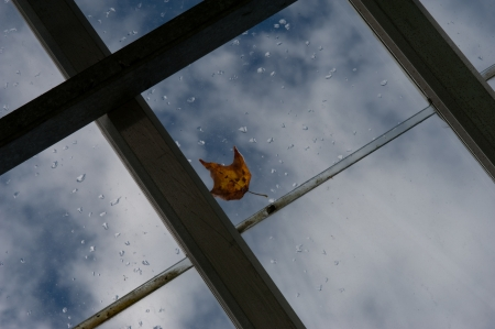 drop ceiling: lone autumn leaf caught on glass roof in the rain