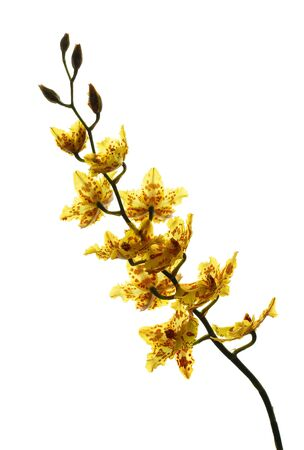 yellow orchid: Yellow orchid isolated on a white background