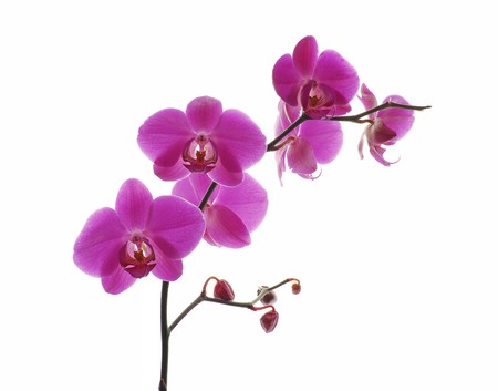 Pink orchid isolated on a white background