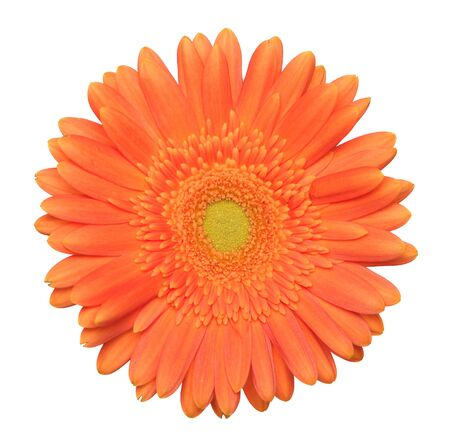 Single gerbera on a white background Stock Photo