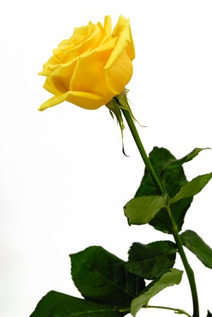 Single yellow rose on a white background