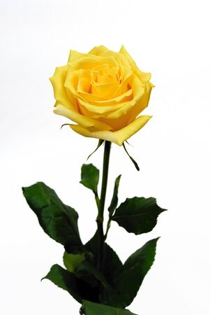 yellow rose: Single yellow rose on a white background