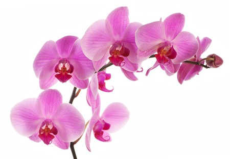 Pink orchid, closeup shot, white background