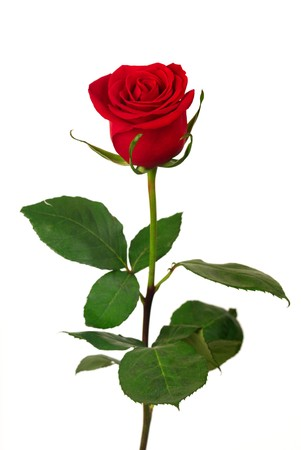Single red rose on a white background