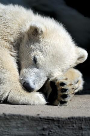 Little polar bear cub having a rest 写真素材