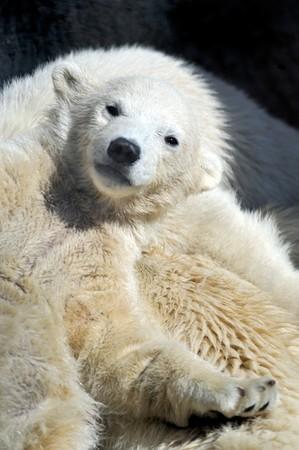 Little polar bear cub having a rest at his mom`s back photo