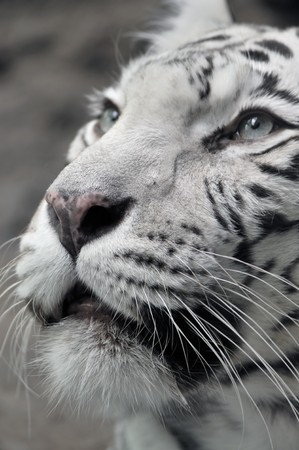 White tigress, close-up portrait photo