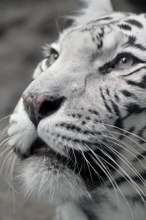 White tigress, close-up portrait photo