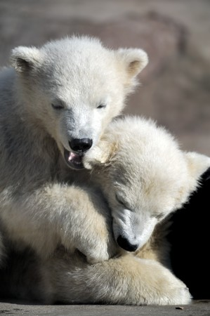 Two little polar bear cubs playing 版權商用圖片 - 8101211