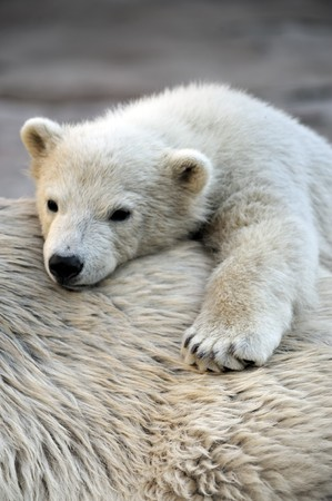 Little polar bear cub having a rest at his mom`s back