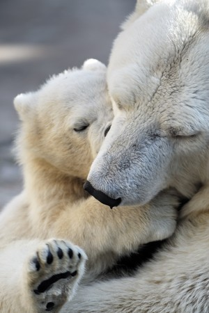 Little polar bear cub playing with his mom