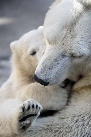 Little polar bear cub playing with his mom Stock Photo - 8101172