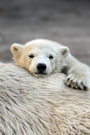 cachorro: Poco cachorro de oso polar, tener un descanso en la parte posterior de su madre  Foto de archivo