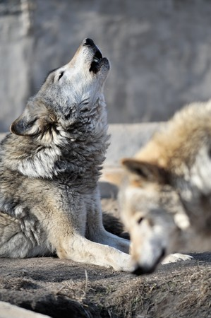 the wolf: Howling lupo in uno zoo di Mosca
