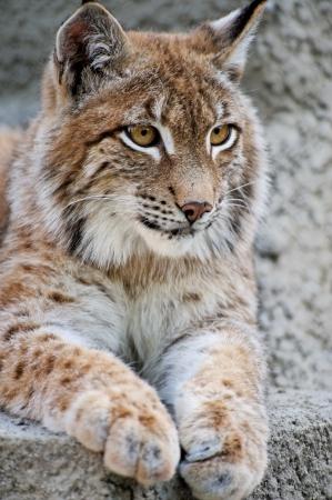 Lynx having a rest