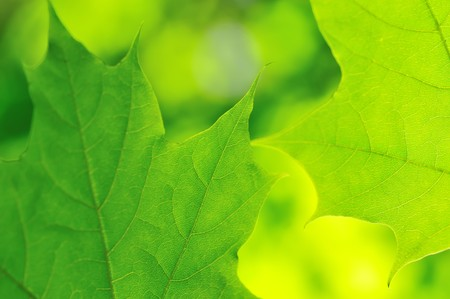 Green maple leaves in a sunlight Stock Photo - 8101221