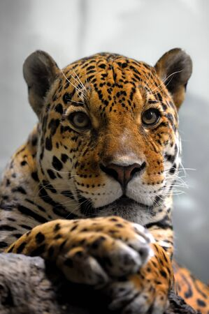 Portrait of jaguar, panthera onca