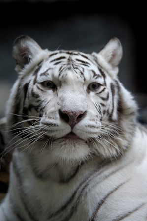 White tigress photo