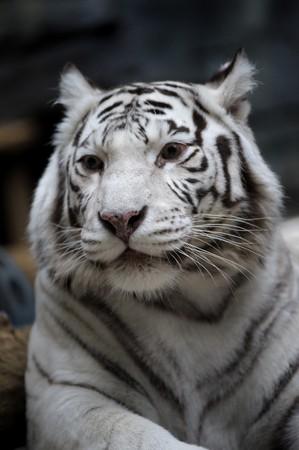 White tigress Stock Photo - 8101267