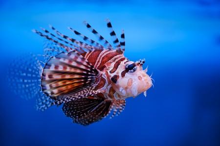 Lionfish (dendrochirus zebra) in a Moscow Zoo aquarium