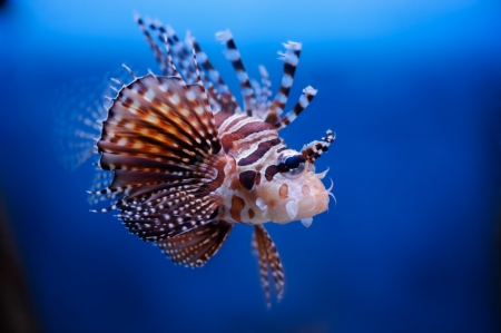dragonfish: Lionfish (dendrochirus zebra) in a Moscow Zoo aquarium