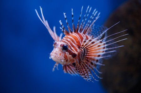 stingfish: Lionfish (Pterois mombasae) in a Moscow Zoo aquarium