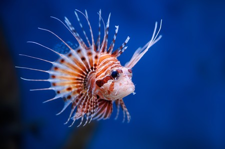 Lionfish (Pterois mombasae) in a Moscow Zoo aquarium 版權商用圖片 - 8101142