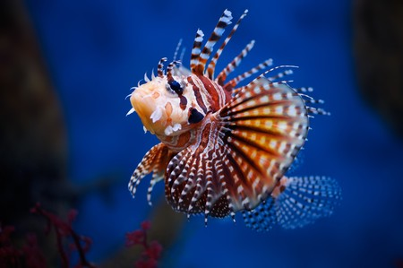 turkeyfish: Lionfish (dendrochirus zebra) in a Moscow Zoo aquarium