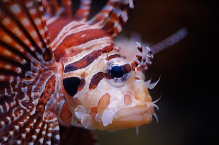 turkeyfish: Lionfish (dendrochirus zebra,) in a Moscow Zoo aquarium