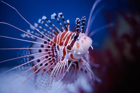 zebrafish: Lionfish (Pterois mombasae) in a Moscow Zoo aquarium