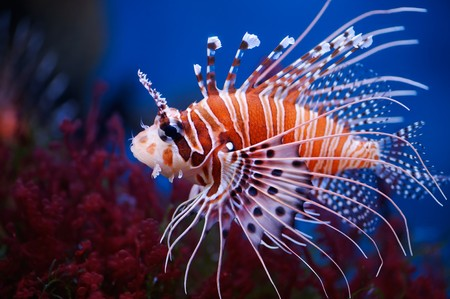 Lionfish (Pterois mombasae) in a Moscow Zoo aquarium Stock Photo - 8101339