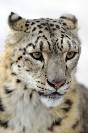 Snow leopard, low DOF portrait Stock Photo