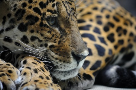 onca: Portrait of jaguar, panthera onca