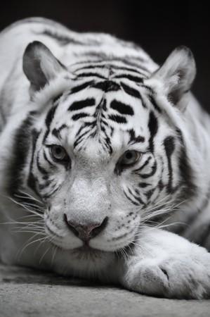 tigresa: Tigresa blanca