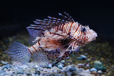 dragonfish: Lionfish in a Moscow Zoo aquarium
